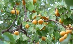 FruitaMerunky
