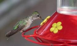 Kolibrik1