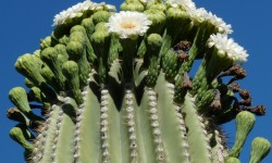 kvetouci Saguaro
