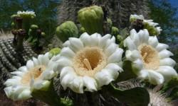 kvety Saguaro